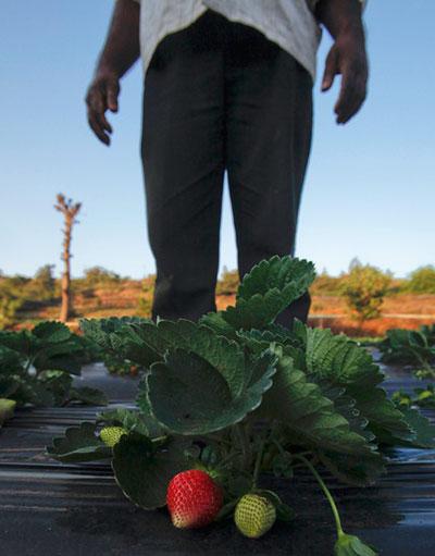На фермах недалеко от Мумбаи (Индия) крестьяне готовятся собирать урожай клубники, которая вот-вот созреет.