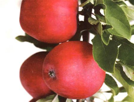 Катя - поздний летний сорт: крупные зеленовато-жёлтые яблоки спеют к концу августа, на вкус - кисло-сладкие, хрустящие. По мере созревания они покрываются румянцем.